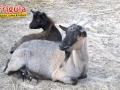 карликовые козы